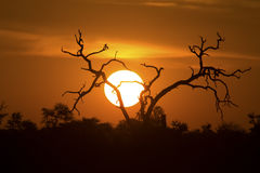 African sunset with a tree silhouette and large orange sun. African sunset with a tree silhouette and the large orange sun Royalty Free Stock Photo