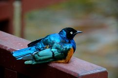 African Superb Starling bird rests on wooden beam Stock Photography