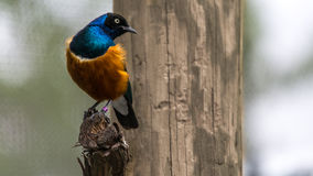 African Superb Starling Royalty Free Stock Photography