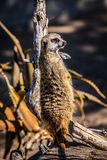 African Suricate Royalty Free Stock Images
