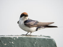 >African swallow Stock Photo