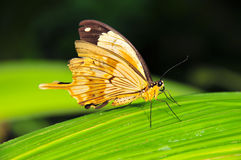The african swallowtail. Or mocker swallowtail (papilio dardanus) resting on a leaf Royalty Free Stock Photography