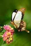 African Swallowtail butterfly, Papilio dordanus, sitting on the white flower. Insect in the dark tropic forest, nature habitat. Wi. African Swallowtail butterfly stock photography