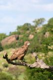 African Tawny Eagle. An African Tawny Eagle sitting on a branch Royalty Free Stock Images