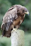 African tawny eagle Royalty Free Stock Photo