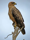 African Tawny Eagle Stock Image