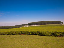African tea plantation on forest background Royalty Free Stock Image