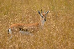African thomson`s gazelle royalty free stock photography
