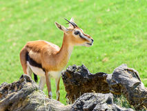 African Thomson`s Gazelle. Eudorcas Thomsonii Stock Image