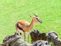 African Thomson`s Gazelle. Eudorcas Thomsonii Royalty Free Stock Image