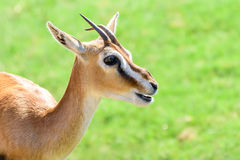 African Thomson`s Gazelle. Eudorcas Thomsonii Stock Photography