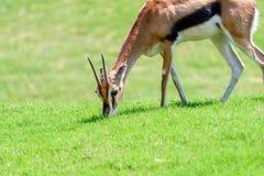 African Thomson`s Gazelle. Eudorcas Thomsonii Royalty Free Stock Images