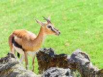 African Thomson`s Gazelle. Eudorcas Thomsonii Stock Images