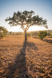 African Thorn Tree silhouetted by the sunrise Royalty Free Stock Photos