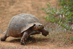 African tortoise. An active moving Mountain Tortoise - Bergskilpad - Geochelone Pardalis - with beautiful expression in the face feeding, walking and watching Royalty Free Stock Images
