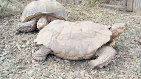 African Tortoise (Geochelone Sulcata) stock footage