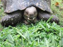 African Tortoise. Royalty Free Stock Images