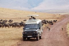 African tourism. Tourists are taking wildbeest photographs during a safari, game drive,  in the Ngorongoro Crater, Tanzania, while the sptted hyenas are walking Royalty Free Stock Photo