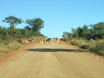 African traffic jam. Traffic jam in the Kruger National Park in Africa Stock Photos