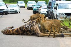 African Traffic-Jam. A Traffic Jam in Africa caused by Lions feeding on a Giraffe Royalty Free Stock Images