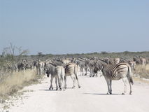 African traffic Zebra's walking in the road Stock Photography