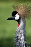 African Treasure. East African Crowned Crane with shallow DOF Royalty Free Stock Photography