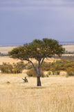 African tree. A lone tree standing in the middle of African grasslands Royalty Free Stock Photos