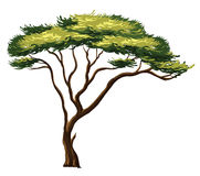 African tree Stock Photos