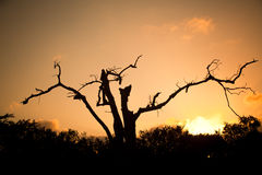 African tree. Silhouette of an african tree against a golden sunrise Royalty Free Stock Images