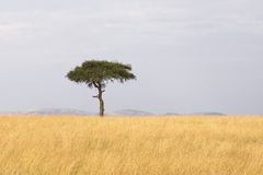 African tree background. Single tree in the middle of vast grass plains Royalty Free Stock Photography