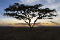African tree in beautiful sunset Stock Images