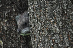 African tree dassie (rock rabbit) Stock Photo