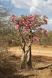 African tree in flowers Stock Image