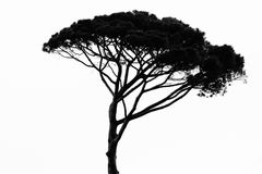 African tree isolated on white Royalty Free Stock Images