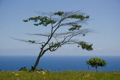 African Tree in Kona Stock Photos