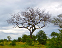 African Tree. Large leafless tree against a cloudy sky background in the wilderness in Kruger, South Africa royalty free stock photography