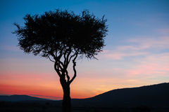African tree in the last daylight. sunset. Kenya. African sunset in Kenya - lonely tree on sky background Royalty Free Stock Images