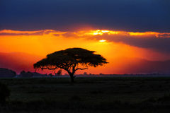 African tree silhouette on sunset in savannah, Africa, Kenya Royalty Free Stock Photo