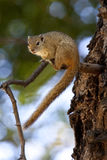African Tree Squirrel - Botswana. African Tree Squirrel (Paraxerus cepapi) in the Okavango Delta in Botswana Stock Photo