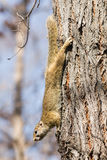 African tree squirrel Royalty Free Stock Photo