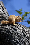 African Tree Squirrel - Okavango Delta - Botswana Stock Photography