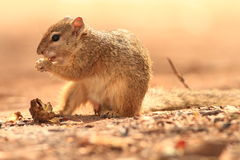 African Tree Squirrel (Paraxerus cepapi). Eating on the ground Stock Images