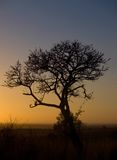 African tree at sunrise Stock Image