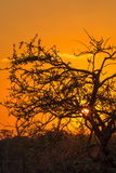 African tree at sunset Royalty Free Stock Images