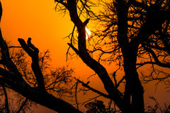 African tree at sunset Stock Image