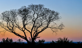 African Tree at Sunset, Zambia. Landscape with an african tree at sunset, Zambia, Africa Royalty Free Stock Images