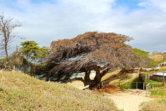 African Tree. View of an old and wise african tree by the seaside in Cape Town, South Africa stock images