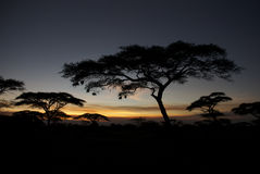 African trees at night. Late noon, african trees with some bird nests are seen as a shadow against the late glowing sun Royalty Free Stock Photography