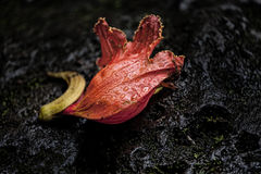 An African Tulip Tree blossom on volcanic rock Royalty Free Stock Photo