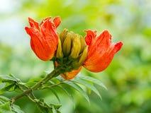African Tulip Tree Royalty Free Stock Photo